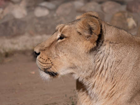 Portrait lioness basking in the warm sun after dinner.
