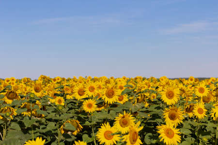 Field of blossoming sunflowers against the blue sky.