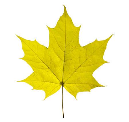 maple closeup leaf isolated on white background. Archivio Fotografico