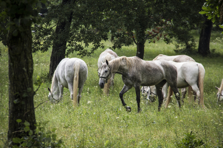 lipizzan horse: Young Lipizzan horses, out in the open. Those horses are one of finest breed for high school movements of classical dressage. The breed takes its name after a stud farm Lipica in Slovenia, where also this picture has been taken.