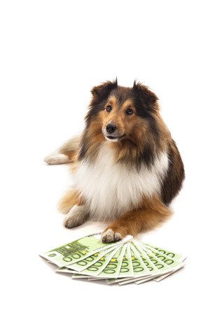 Portrait of Shetland sheepdog in front of euro banknote over white background Фото со стока