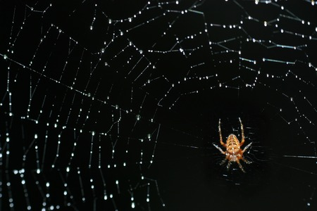 Spider on a net ful of raindrops focus on a spider and diagonal line of the net left top to right bottom  photo