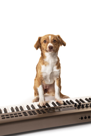 Dog playing music on keyboard isolated over white background photo