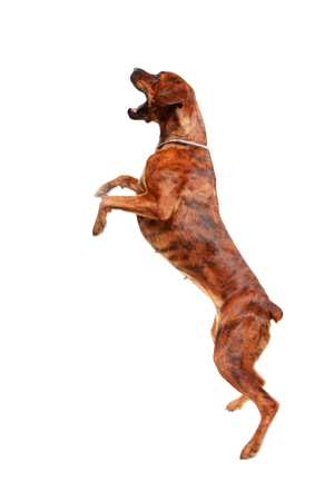 Young mixed-breed  boxer dog jumping at the air (with some motion blur) photo