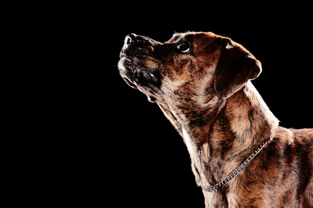 Young mixed-breed  boxer dog looking up on black background photo
