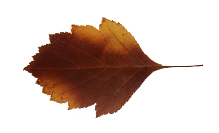 roughage: dried fall leaves of plants, flowers and branches, isolated elements on white  background for scrapbook, object, roughage autumn leaf.