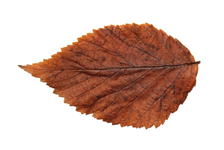 roughage: dried fall leaves of plants, isolated elements on white  background for scrapbook, object, roughage autumn leaf.