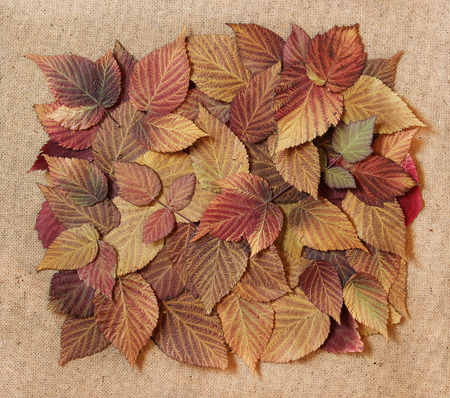roughage: dried fall leaves of plants, elements raspberry leaves laid out on cardboard with a place for accommodationon  background for scrapbook, object, roughage autumn leaf