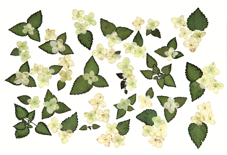 roughage: drawing bouquet of dried, pressed leaves of plants collected and pasted on watercolor paper,  roughage autumn fall leaf, hydrangea isolated object white black background, Ikebana Stock Photo