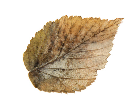 roughage: dried fall silver leaf of plant, isolated elements on white background for scrapbook, object, roughage autumn leaf.