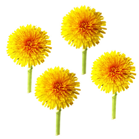 roughage: bright cap dandelion dry  flower isolated elements, white background for scrapbook, object, roughage spring  leaf.