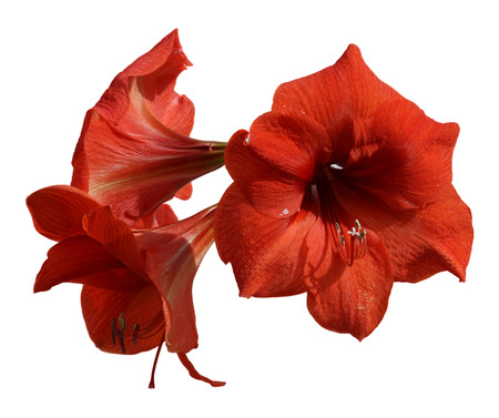 hippeastrum flower: fresh Hippeastrum flower, Amaryllis young branch of three flowers close-up isolated on a white background element for scrapbook, object
