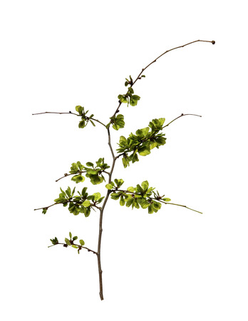 willows: young shoots, fresh leaves, green unripe seeds of elm branch, blossoming branch of catkins willows close up in early spring, isolated elements on white  background for scrapbook, object,