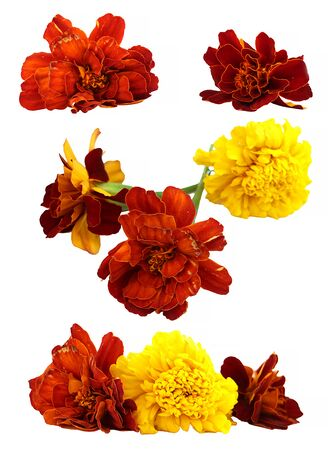 dry flowers: oil draw dry delicate flowers and petals of marigold isolated on white scrapbook background paint