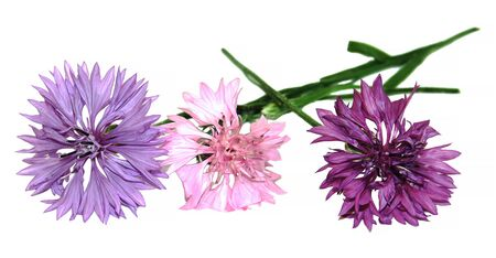 cornflower: oil draw pink petals fresh delicate flowers  decorative terry cornflower isolated on white background scrapbook, paint