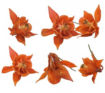 anther: oil draw paint large orange flowers of Aquilegia  isolated on white background. Isolated blossom of Columbine flower