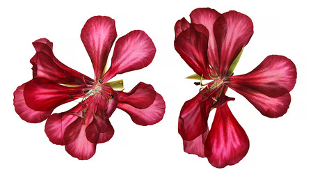 dry flowers: Terry oil draw red decorative geranium perspective, paint dry pressed delicate flowers and petals of pelargonium illustration, isolated on scrapbook background