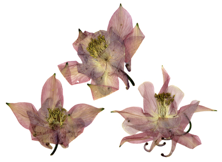 pink columbine: dry large pink perspective delicate royal Aquilegia  with pressed  petals isolated on scrapbook background blossom of Columbine flower
