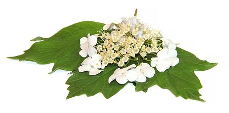 oil paint white Spirea fresh delicate flowers and petals, isolated on white background scrapbook draw