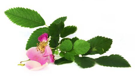 eglantine: oil draw white crumbling pink petals, berries briar fresh delicate flowers and petals, isolated on white background scrapbook, paint