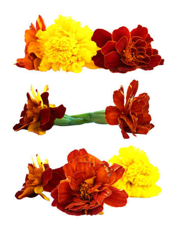 marigold: oil draw dry delicate flowers and petals of marigold isolated on white scrapbook background paint