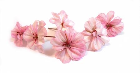 オイル ゼラニウムの視点を描く、新鮮な繊細な薄桃色の花とゼラニウム、孤立した背景の赤い花びらを描く