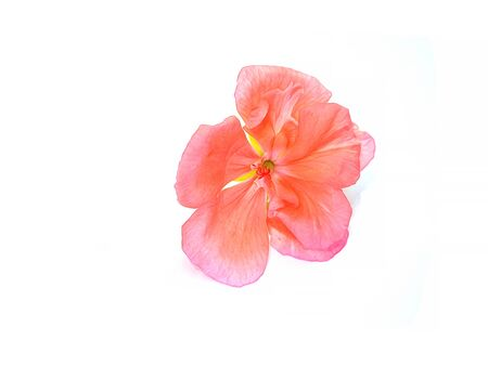inflorescence: oil draw geranium perspective, paint fresh delicate flowers and petals of pelargonium, isolated on white background scrapbook Stock Photo