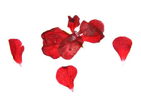 pressed: oil draw geranium, dry delicate flowers, leaves and petals of pressed, red pelargonium, illustration isolated on white background Stock Photo