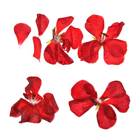 dry flowers: oil draw geranium, dry delicate flowers, leaves and petals of pressed, red pelargonium, illustration isolated on white background Stock Photo