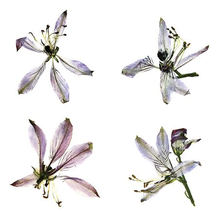 dry flower: oil draw paint large blue and white flowers pressed dry royal Aquilegia Isolated blossom of Columbine flower