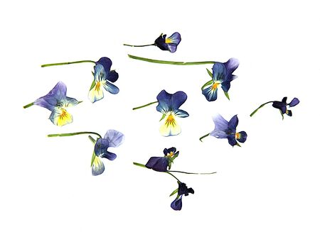 dry flowers: oil draw paint large blue and white flowers pressed dry pansy Isolated blossom