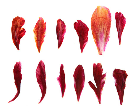 inflorescence: oil draw dry delicate petals of pressed, red peony, illustration isolated on white background