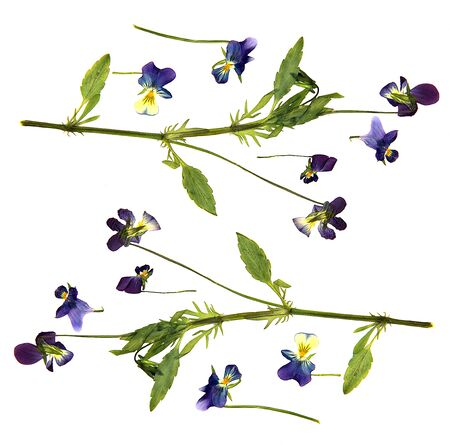 anther: oil draw paint large blue and white flowers pressed dry pansy Isolated blossom
