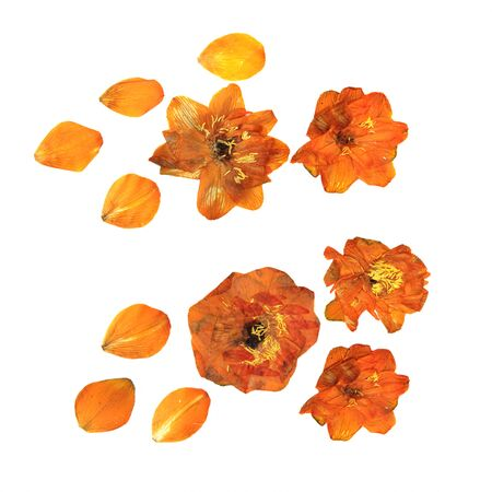 twinkle: large orange flowers pressed dry twinkle Isolated blossom globe-flower Stock Photo