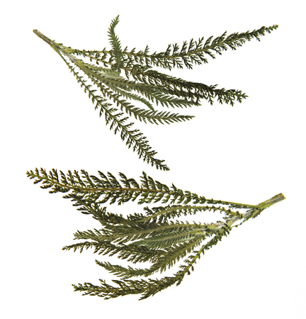 fleecy: dry green pressed leaf of fern isolated pressed fleecy leaves on white background for scrapbook Stock Photo