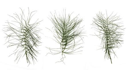 equisetum: dry green leaf equisetum isolated pressed on white background