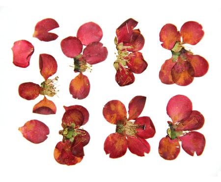 Pressed and dry  large red flowers and petal set of quince. Blossom of japonica, chaenomles, isolated