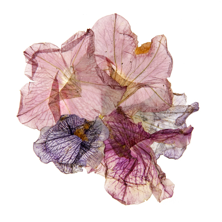 application of dried pressed colorful petunias
