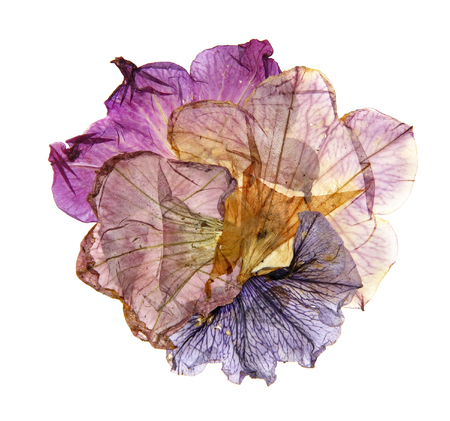 pressed: application of dried pressed colorful petunias