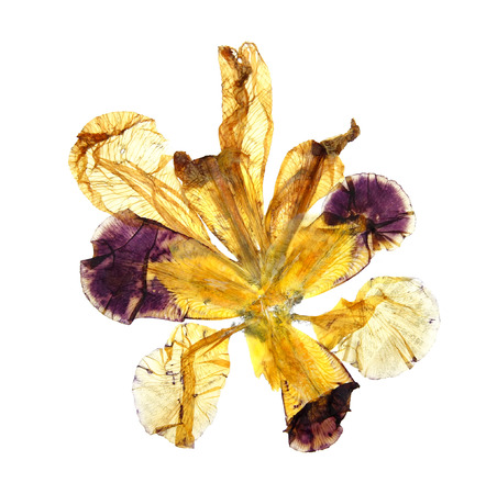 application of dried pressed motley multicolored iris Stock Photo