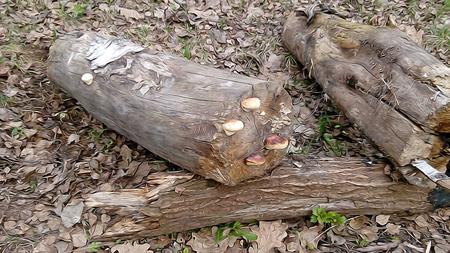 mycelium: mycelium red mushroom, Chaga mushroom, the first fresh green leaf, sorrel, strawberry, rotten leaf soil, humus, background, spring, driftwood, fallen birch trunk