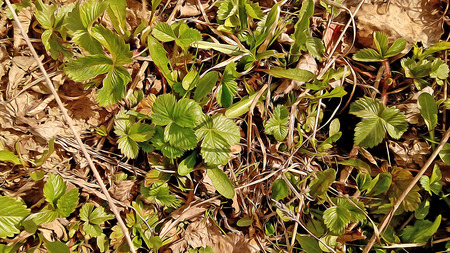 spring out: spring, small green sprout came out  humus in the sun, plant  leaf, bark, birch twigs and tree roots, background, delicate leaf of wild strawberry Stock Photo