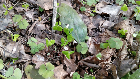 spring, small green sprout came out in the sun from under the dry driftwood, the plant with a round leaf humus among the old leaves, bark, birch twigs and tree roots, delicate leaf clover, background,