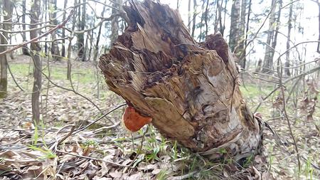 humus: mycelium red mushroom, Chaga mushroom, the first fresh green leaf, sorrel, strawberry, rotten leaf soil, humus, background, spring, driftwood, fallen birch trunk