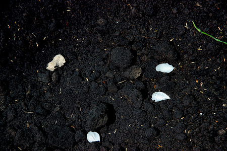 soil texture: humus, soil texture, white petals on black earth, illustration, background