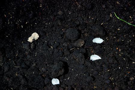 humus: humus, soil texture, white petals on black earth, illustration, background