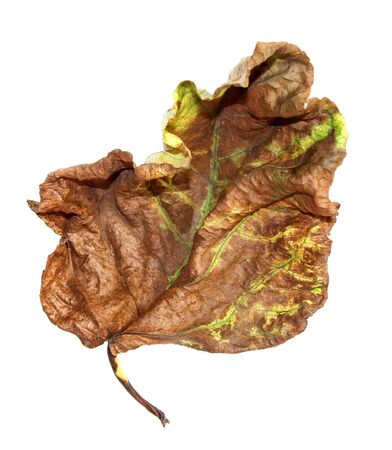 dried up a huge crumpled brown with golden and green-veined leaves of poplar Stock Photo