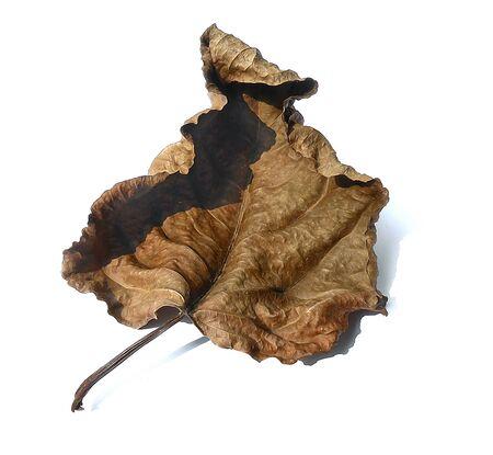 dry huge poplar leaves illustration oil draw