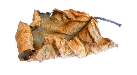 huge: dry huge poplar leaves illustration