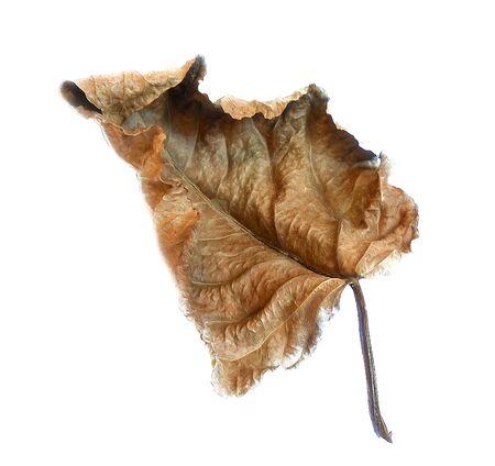 dry huge poplar leaves illustration
